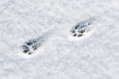 Cat footsteps Stock Image