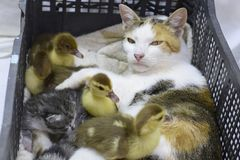 Cat foster mother for the ducklings. Cat in a basket with kitten and receiving musk duck ducklings Stock Images
