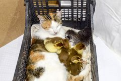 Cat foster mother for the ducklings Royalty Free Stock Photo