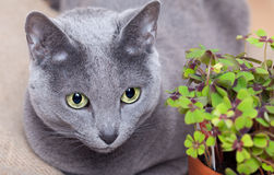 Cat and Four leaved Clover Stock Photos