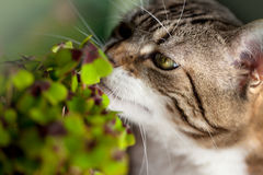Cat and Four leaved Clover. Closeup of Cat and green four leaved clover plants Royalty Free Stock Images