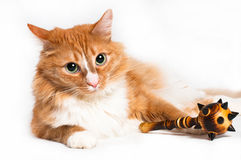 Cat, foxy security Royalty Free Stock Images