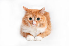Cat, foxy. On white background Royalty Free Stock Photography