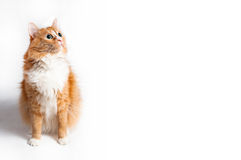 Cat, foxy. On white background Royalty Free Stock Photo