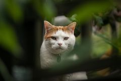 Cat Framed by Foliage. A ginger and white cat looking direcly at the camera framed by green foliage Royalty Free Stock Image