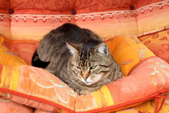 Cat Frenky. Old cat Franky sleeping on the bde Stock Photography