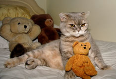 Cat and Friends. Pedigree British Blue Cream Shorthair Cat Stock Photo