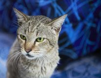 Cat in front of a blue background stock image