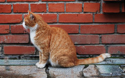 Cat in front of the brick wall. Red cat in front of the brick wall Royalty Free Stock Images