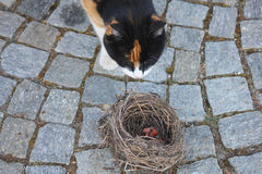 Cat in front of an empty nest. A cat in front of a nest Royalty Free Stock Images