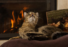 Cat Front Fireplace Stock Photos, Images, & Pictures - 82 Images