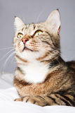 Cat in front on a gray background Royalty Free Stock Photo