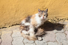cat in front of the ocher wall royalty free stock photo