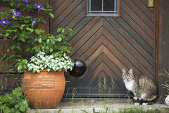 Cat in front of a wooden door Royalty Free Stock Photography