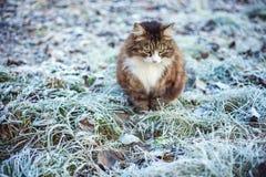 Cat on frosty grass. Fluffy homeless cat walks over hoarfrost grass Stock Photos
