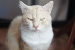 The cat frowned. Beautiful red cat looking at you Royalty Free Stock Photography