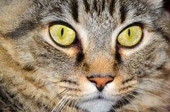 Cat Full Face Green Eyes Foto de Stock