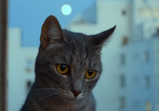Cat with full moon. Gray cat at the window with blue sky and a full moon behind Royalty Free Stock Images