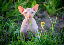 Cat funny expression. Canadian hairless sphynx cat looking, Cat funny expression, outdoors Royalty Free Stock Photo