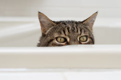Cat with funny expression peeking over the side of a bathtub. Stock Images