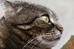 A cat with a funny look Royalty Free Stock Photography