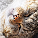 Cat funny sleeping curled Stock Photography