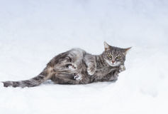 Cat funny tumbles in the white cold snow in winter Park Royalty Free Stock Image