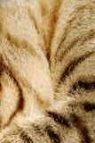 Cat fur. Strips of a cat fur texture macro royalty free stock photo