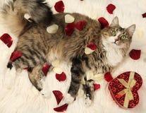 Cat on fur Royalty Free Stock Photo