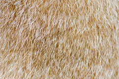 Cat fur Stock Photography