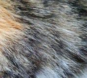 Cat fur close up. Close up texture of three colored cat fur Stock Photo