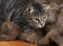 Cat on Fur Stock Images