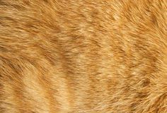 Cat fur texture. Close-up of ginger cat fur for texture or background royalty free stock image