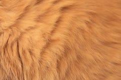 Cat Fur vermelha Imagem de Stock Royalty Free