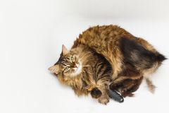A cat with a furminator. White bathroom as background royalty free stock photo