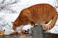 Cat on the garbage. A hungry red cat on the garbage Stock Photos