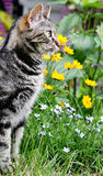 Cat in a Garden. A gray tabby cat in profile in a garden Royalty Free Stock Photography
