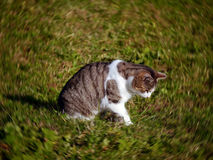 Cat in the garden. A tabby cat sits on the grass in the middle of a zoom-effect motion blur Royalty Free Stock Images