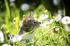 Cat in Garden. Cat smelling the flowers in the garden in the summer Stock Photography