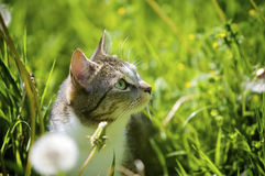 Cat in Garden. Cat smelling the flowers in the garden in the summer Royalty Free Stock Image