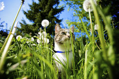 Cat in Garden. Cat smelling the flowers in the garden in the summer Royalty Free Stock Photos