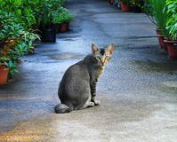 Cat in garden. An image of a gray cat with green eyes sitting pretty in a garden path lined with potted plants. Taken after rain. simple composition with copy royalty free stock image
