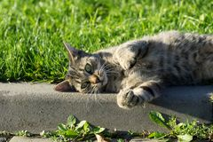 Cat in the garden. Czech Republic. Cat playing and relaxing in the garden during summer. Czech Republic stock images