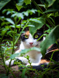 Calico triple fur cat in garden Royalty Free Stock Images