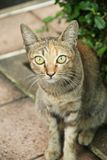 Cat posing. A gray cat posing in garden Royalty Free Stock Photography