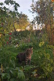 Cat in garden. A grey cat in a wild garden waiting for a mouse Royalty Free Stock Image