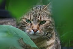 Cat in the Garden, hiding behind shrubs. Tabby Cat, Portrait, sitting, hiding behind shrubs, looking, being awake Royalty Free Stock Photos
