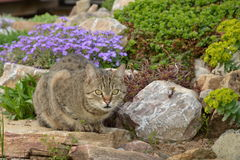 Cat in the garden. Cat lying in the rock garden Royalty Free Stock Photography