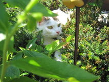 Cat in the garden. White cat in  the flowerbed Royalty Free Stock Photo