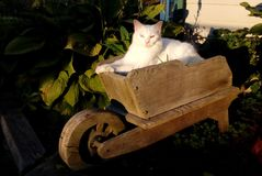 Cat in the Garden. A white cat sitting in a garden wheelbarrow. This cat has one blue eye and one yellow in color Stock Images